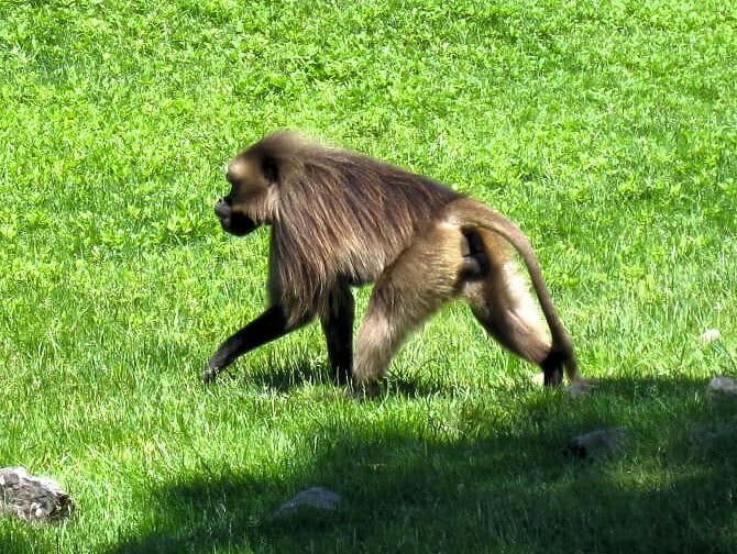 Monkey at Bronx Zoo NYC